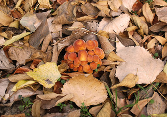 family of mushrooms on ground among dry leaves