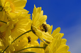 Bees collecting pollen from yellow Daisies poster