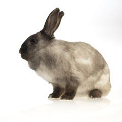 little rabbit (white background)