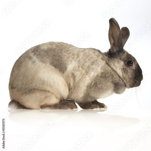 domestic rabbit (side view, white background)