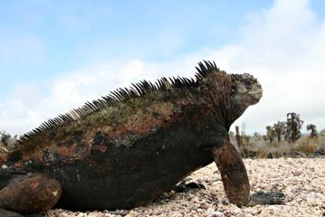 A fat marine iguana
