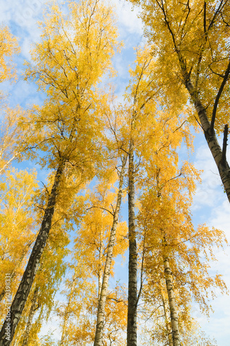 Birch with yellow leaves at autumn season.