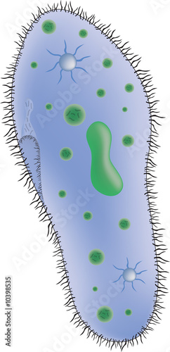 illustration of a paramecium single celled organism