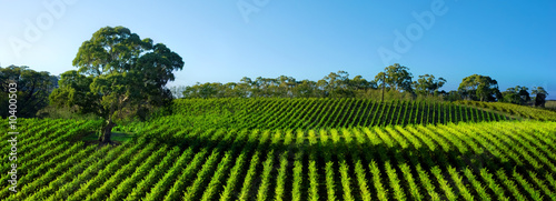 Beautiful Vineyard Panorama with large gum tree