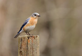 Eastern Bluebird (Sialia sialis) on a stump poster