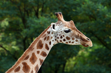 Close up of African Giraffe showing details.