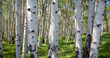 Leinwandbild Motiv Birkenwaldpanorama