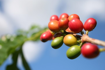 coffe tree