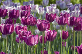 close up of magenta tulips on blur background poster