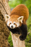 Red Pandas live in the Himalayas and southwest of China poster
