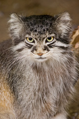 Solitair living wild cat living in Central Asia and Mongolia
