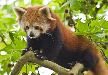 Red Pandas live in the Himalayas and southwest of China