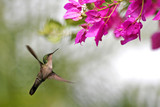 hummingbird which butine flowers in Guadeloupe