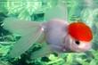 White lionhead goldfish swimming in an aquarium - 10414171