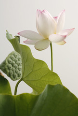 white lotusflower blossom open and closed