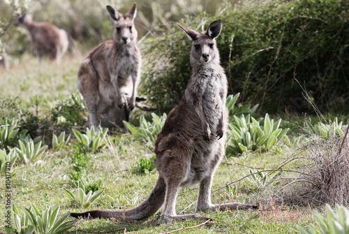 Papiers peints Kangaroo Australian Grey Kangaroo,Tidbinbilla Nature Reserve