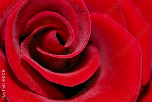 Macro of red rose