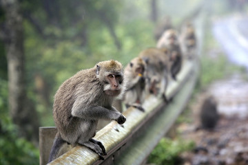 Family of monkeys. Bali. Indonesia