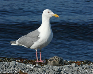glaucous-winged gull with nestling