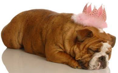 adorable english bulldog with pink tiara