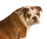 red brindle english bulldog sitting looking at camera poster