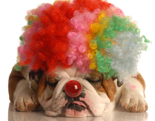 bulldog with colorful clown wig and red nose