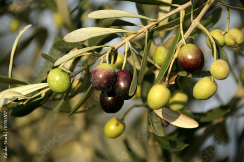 Plexiglas Olijfboom close up shot of an olive tree