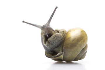 common garden snail upside down