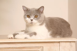 chat british shorthair sur un meuble