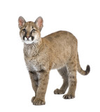 Puma cub in front of a white background