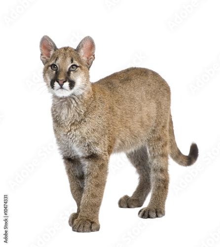 Aluminium Puma Puma cub in front of a white background