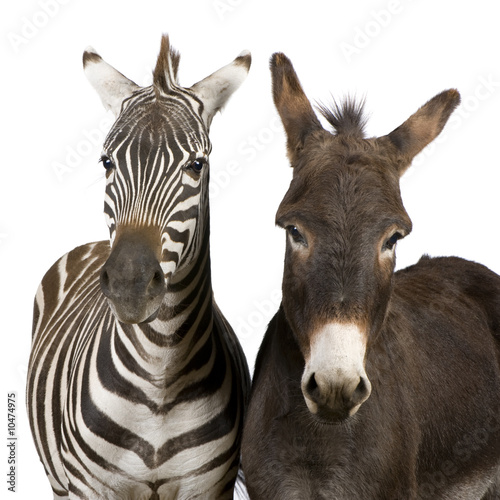 Canvas Zebra a Zebra and a donkey in front of a white background
