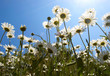 White daisies on blue sky background..