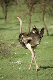 ostrich in the serengeti