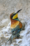 Bee-eater (Merops apiaster) poster