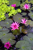 Pink water flowers in park lake at sunny day