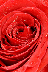Abstract Red Rose Design