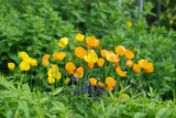 Yellow California poppies in perennial garden