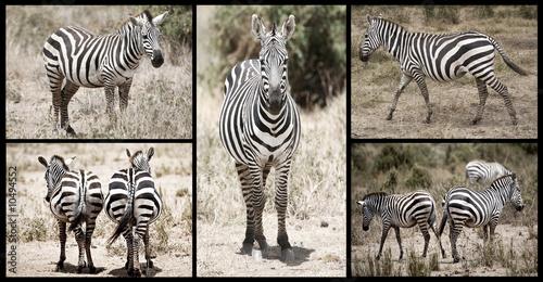 Obraz na Szkle Zebra Collection