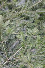 Christmas decoration f fir branch, background