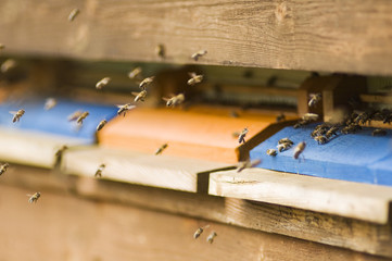 Honigbiene Nesselsucht (Apis mellifera)