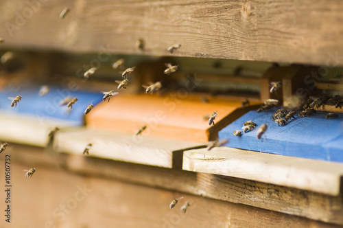 Honeybee hives (Apis mellifera)