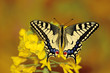 Swallowtail butterfly sitting on flower