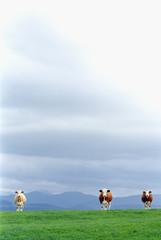 Drei Kühe auf der Weide