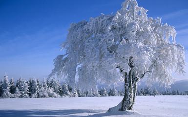 Deutschland, Schwarzwald, Bäume schneebedeckt