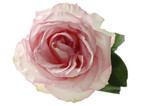Pink rose (Rosa), elevated view
