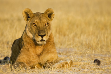 Afrika, Botswana, Löwin