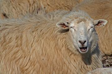 Schaf, Augen geschlossen, kauend