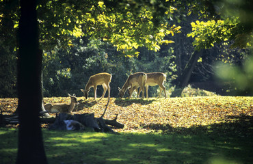 Deutschland, Hirsche auf Lichtung