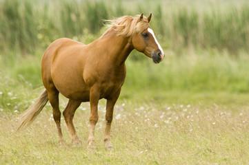 braunes Pferd auf Wiese